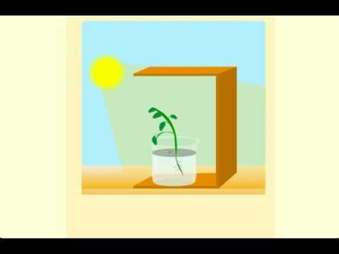 Phototropism - CBSE Class 10 Science Chapter 6 - Life Processes Tutorials  Online (Meritnation com)
