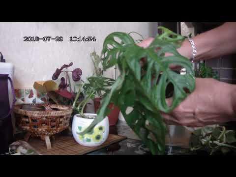 Цветы в моем доме. Комнатные растения. Обновляем, укореняем монстеру и филодендрон.