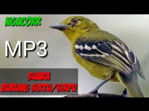 Suara Pikat Burung Sirpu/Sirtu/Cipoh Mantap Mp3