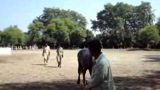 Remount Depot Mona Selection of new Horse for Zuljanah PART 2