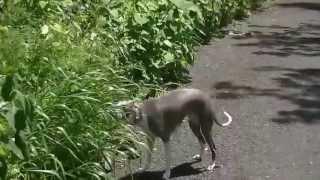 Italian Greyhound , Walk leisurely 福岡県北部 福智山の麓増渕ダムの...