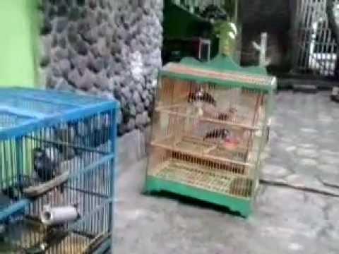 Daftar Harga Burung Jalak Suren (22)
