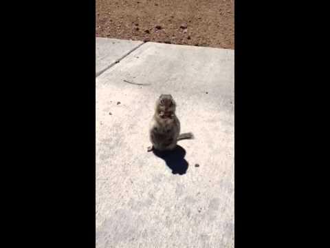 Prairie Dog Eating Crackers