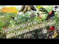 Panen Burcil Bukti Master Pikat Kutilang Ribut Rombongan Burcil Langsung Datang Dan Lengket  Mp3 - Mp4 Download