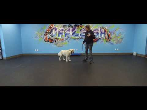 Best Dog Training in Columbus, Ohio! 9 Month Old Golden Retriever, Scout!