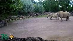 Zoo Magdeburg - Nashornbulle Malte unterwegs
