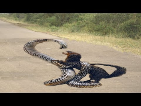 Mongoose hunting Snakes On The Road - Mongoose Vs Snake - Best Attack Animal