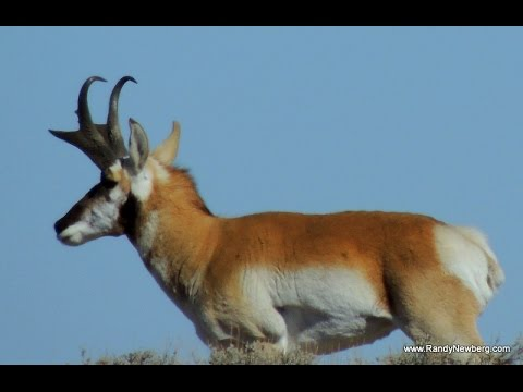 Draw A New Mexico Pronghorn Antelope Tag (hunting)