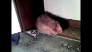 морская свинка Тёма породы тексель хочет удрать и издаёт звуки