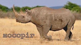 Тварини Африки їх голоси та звуки