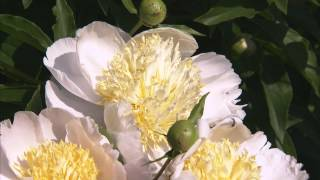 Gardening Tips -- Growing Peonies