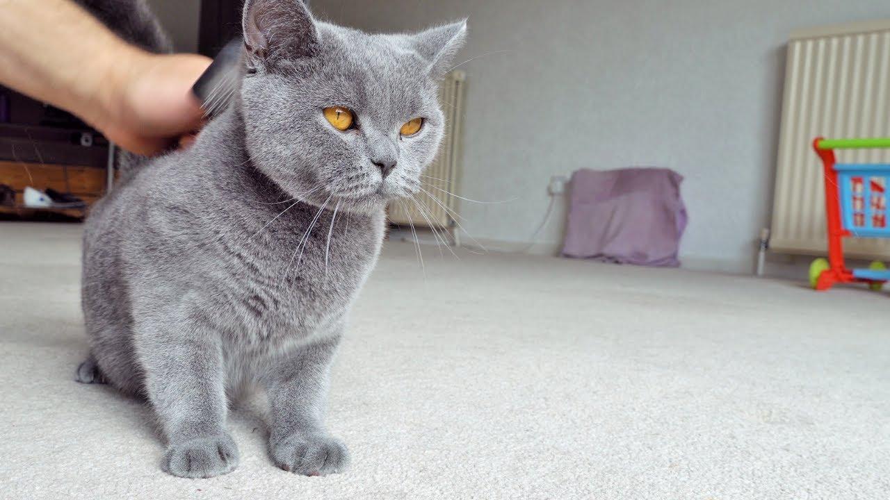 Brushing British Shorthair Cats