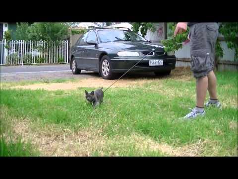 Kato the Korat Cat sprinting outdoors