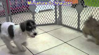 Miniature Schnauzer, Puppies, For, Sale, In, Boise City, Idaho, Id, Rexburg, Post Falls, Lewiston, T
