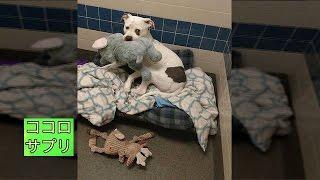 飼い主に捨てられ安楽死を控えた犬、大好きなぬいぐるみと一緒に幸せへの1歩を踏み出す! thumbnail