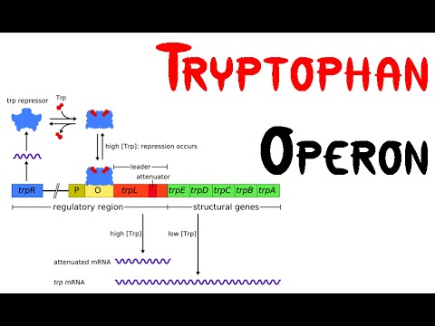 Trp    operon      Tryptophan    Operon    in bacteria  YouTube