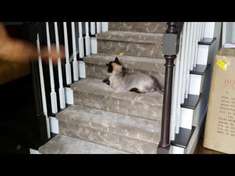 cat sitting ragdoll