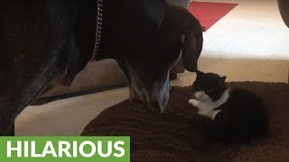 Blind old Great Dane kicks grumpy cat off her bed