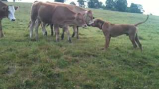 Celebrity Personal Trainer London W1:my Ridgeback, Dogue De Bordeaux Herding Cows...