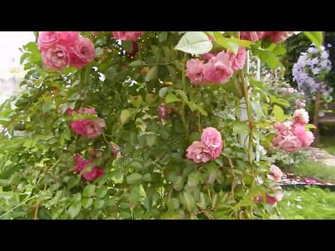 Роза рамблер второгодка Розовый водопад Utigord Falls август 2019