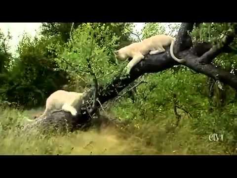 Singa Putih ( Discovery )