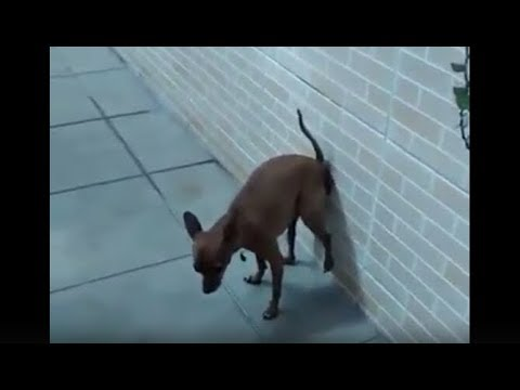 dog poops on wall