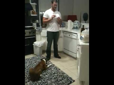 Puppy Boxer can read!