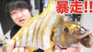 返り血の雨!!生きた獰猛魚をさばいて焼き切りにして食う!!【タカノハダイ】 thumbnail