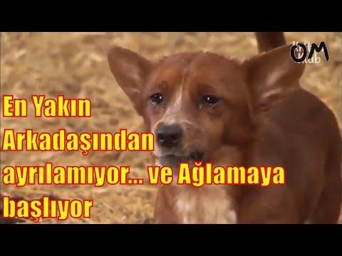 Arkadaşı İneğin ayrılığına ağlayan Köpeğin hüzünlü hikayesi