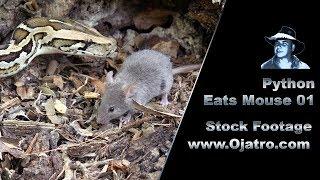 Python Eats Mouse 01 Footage thumbnail