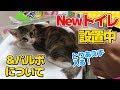 【猫】パルボ検査結果のお知らせと新しいトイレに興味津々の子猫たま:15日目【Kitten】