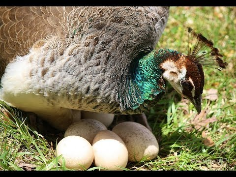 Peacock Egg Hatching | Peacock Dance