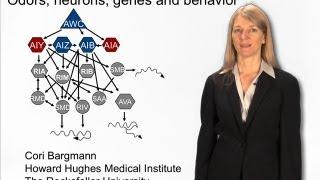 Cori Bargmann (Rockefeller) Part 2: Cracking the circuits for olfaction