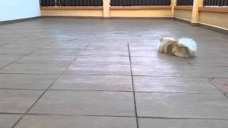 Pomeranian 7mth Old, Pommy's Morning Exercise