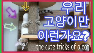 꽁냥이네뱅갈고양이 스노우뱅갈고양이 과격한 재롱 #뱅갈고양이 #babycats #snowbengalcat #ベンガル猫 #ลูกแมว the cute tricks of a cat