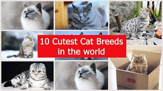 10 cutest cat breeds in the world