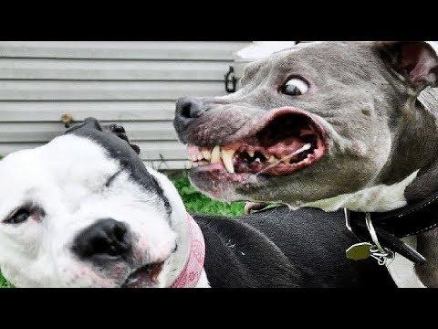 A Raça De Cachorro Mais Perigosa Do Mundo!!!