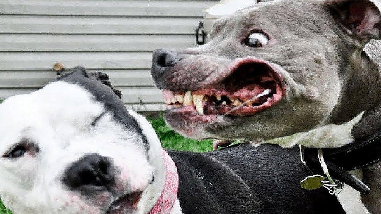 A Ra 231 A De Cachorro Mais Perigosa Do Mundo Youtube