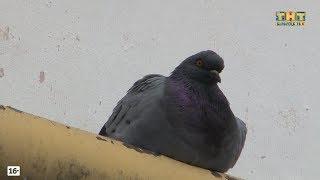 Кража породистых голубей