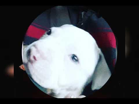 My pitbull zeus growing 45 days to 1 year journey