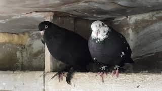 01.08.19. Голуби Линька Корм. Pigeons Moult Food.