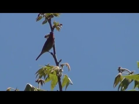 North American Wildlife --- House Finch, singing, foraging, & eating