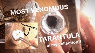 Unboxing the MOST VENOMOUS TARANTULAs in MY COLLECTION !!! ~ Feather Legged Baboons