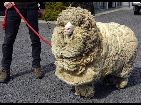 Greatest Shrek, The Sheep Who Escaped Shearing For 6 Years Of All Time