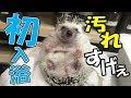 【ハリネズミ生活 初めての入浴!汚れがすごかったw】(くろねこチャンネル)