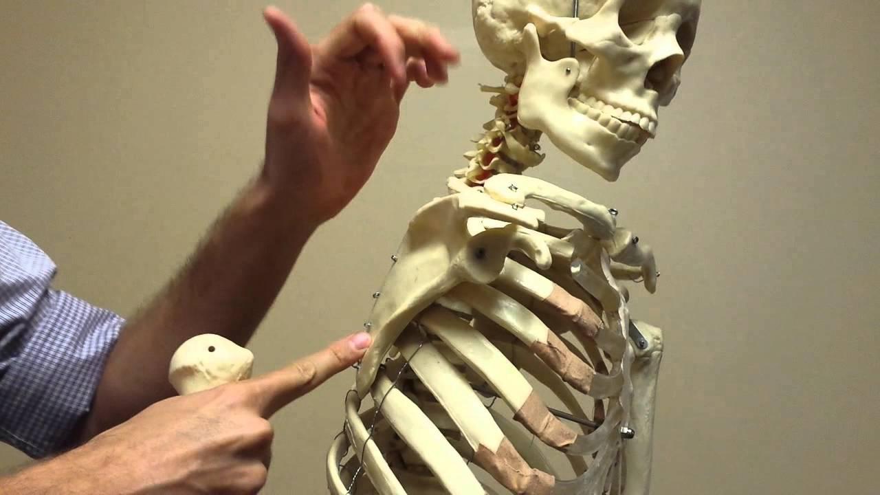 Shoulder Biomechanics part 2 (scapula/ribs/tspine) - YouTube
