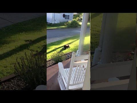 El Gallo Por La Mañana - El Perro El Mejor Amigo Del Purquito