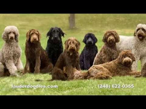 Labradoodle Dog Breeder - Northwest Ohio Dog Ranch