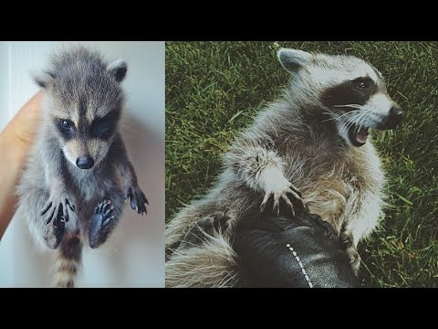 The Story of Bandy: Our Pet Raccoon