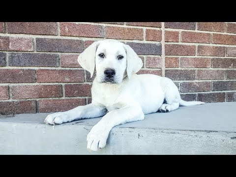 GORGEOUS White Lab Puppy in Training - Must See!